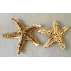 Sea Star Asteropdeidae 9/13cm lot of 6