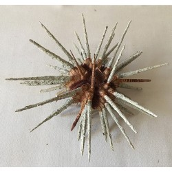 Urchin Priodocidaris 15/18cm lot of 3