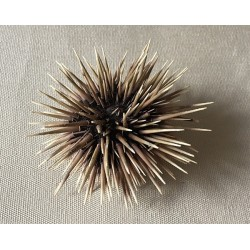 Sea urchin 6/7cm lot of 10