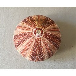 Orange or purple North Sea sea urchin test 10/12 cm batch of 3
