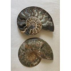 Ammonite cut in half 10/12cm by 1
