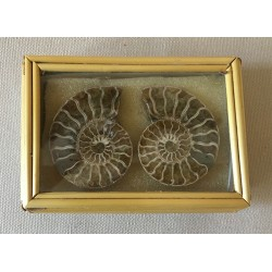 Fossil Ammonite 2 Parts 4.5cm in Box Lot of 2