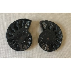 Ammonite cleonidas sold by 1