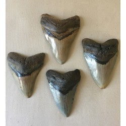 Carcarodon Megalodon Tooth 105/112mm lot of 1