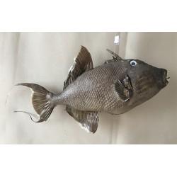Fish Baliste 43/50cm lot of 1
