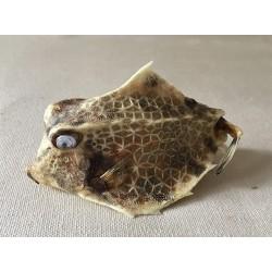 Cowfish Quadricornis 10cm lot of 6