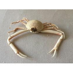 Crab Randallia Eburnea 11/20cm lot of 1