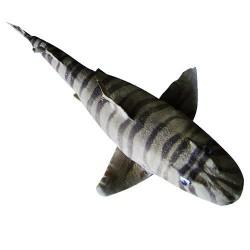 Zebra shark 69/75cm lot of 1