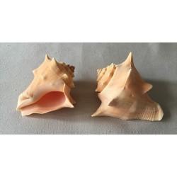 Strombus Pugilina Arcaria 12/13.5cm by 1