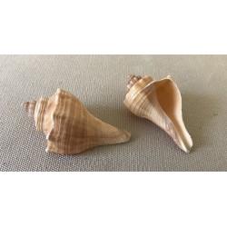 Hemifusus pugilinus 4/5cm by 25
