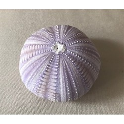 Purple sea urchin test 8/10cm by 6