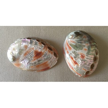 Abalone rufescens 8/9cm by 12